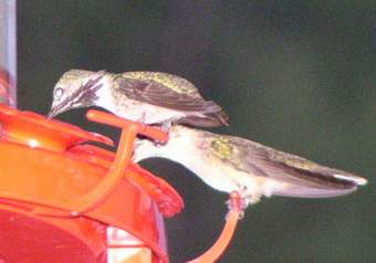 Calliope Hummingbird at feeder