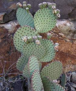 Blind Prickly Pear Cactus