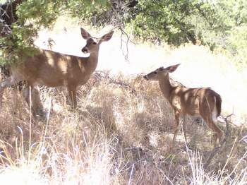 Pair of Carmen Mountain White-tailed Deer