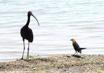 White-faced Ibis & Yellow-headed Blackbird at Imperial Reservoir