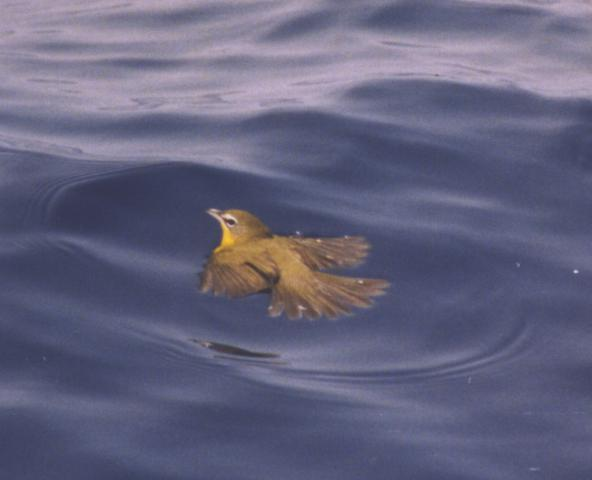 Yellow-breasted Chat in the sea, soaked and unable to fly
