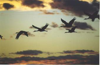 Sandhill cranes flying at Bosque del Apache