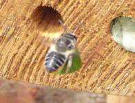 Leafcutter bee bringing in a new leaf