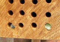 Leafcutter bee leaving nest hole