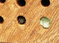 Leafcutter bee defending hole entrance