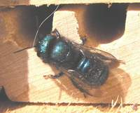 Female Orchard Mason Bee