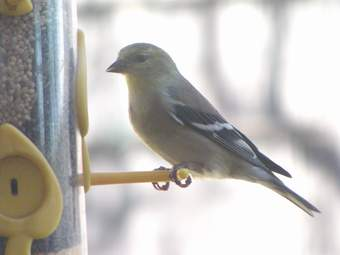 American Goldfinch at thistle feeder