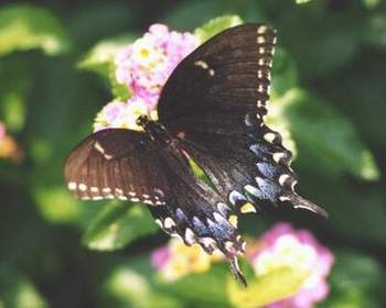 Eastern Tiger Swallowtail, black form