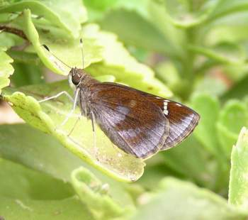 Female Clouded Skipper, wings closed