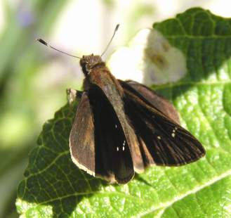 Male Clouded Skipper, wings open