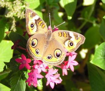 Common Buckeye, wings open