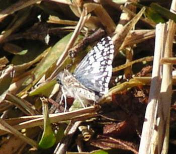 Common Checkered-Skipper (Pyrgus communis)