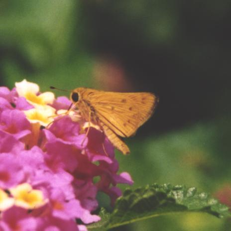 Fiery Skipper, wings closed