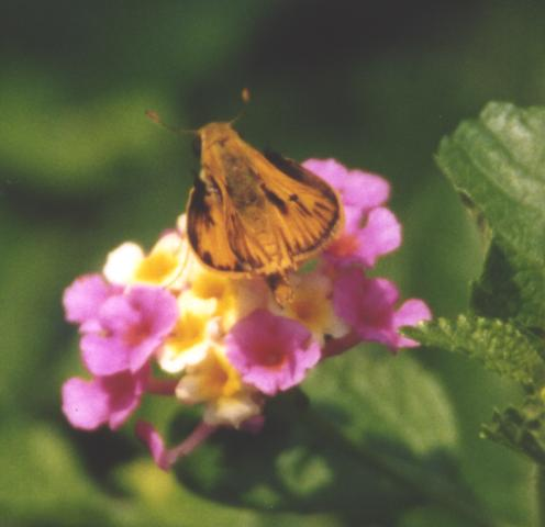 Fiery Skipper, wings open