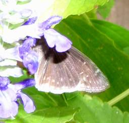 Funereal Duskywing, wings closed
