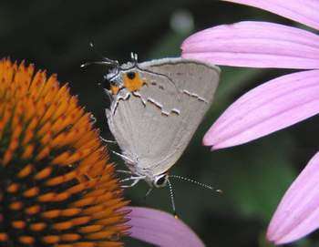 Gray Hairstreak on Coneflower