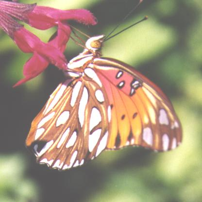 Gulf Fritillary wings closed