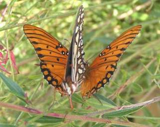 Gulf Fritillary wings open