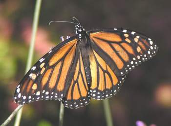 Female Monarch Butterfly wings open