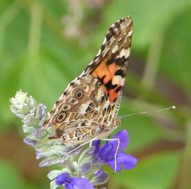 Painted Lady, wings closed