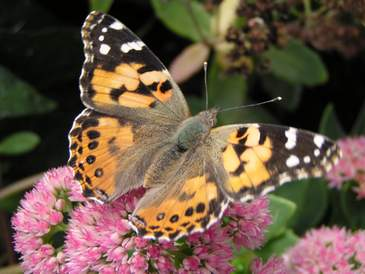 Painted Lady, wings open
