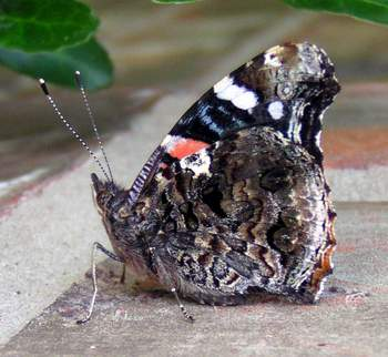 Red Admiral, wings closed