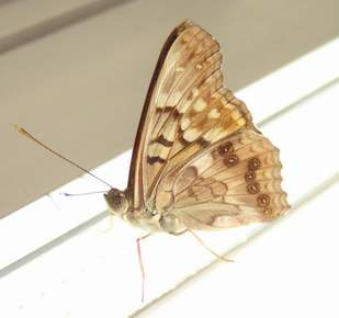 Tawny Emperor, wings closed