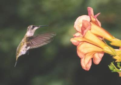 Ruby throated Hummingbird at Trumpetvine