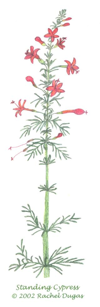 Drawing of Standing Cypress flower