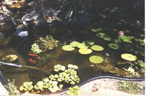 Pond plants, lillies & Goldfish