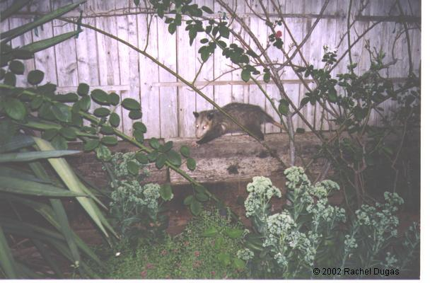 Possum visiting the garden at night