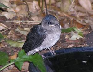 Fledgling martin at birdbath